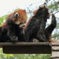 レッサーパンダ 双子の姉妹3 (サンとルナ 8ヶ月)