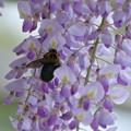 藤の花とクマバチ(2)