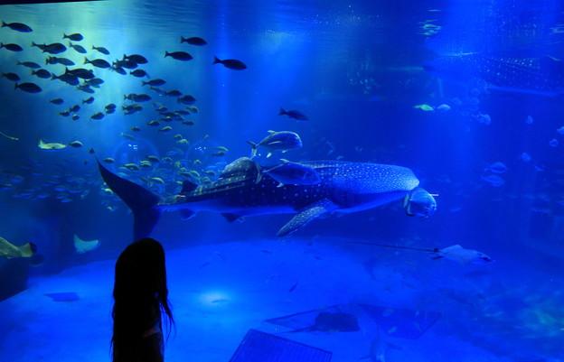 青の世界(2) のとじま水族館 ジンベイザメの館