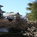 石川門 カラミザクラと、開花を待つソメイヨシノ
