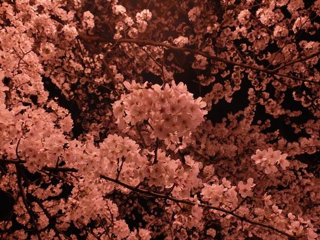 夜桜 (6)