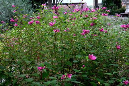 Salvia involucrata サルビア・インボルクラータ(ローズリーフ)