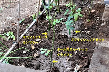 バラ植え_2