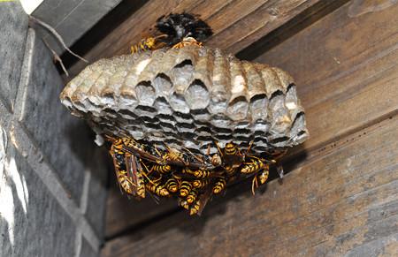 アシナガ蜂の巣20151025