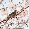 写真: ヒヨドリと桜