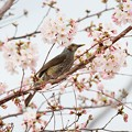 Photos: ヒヨドリと桜