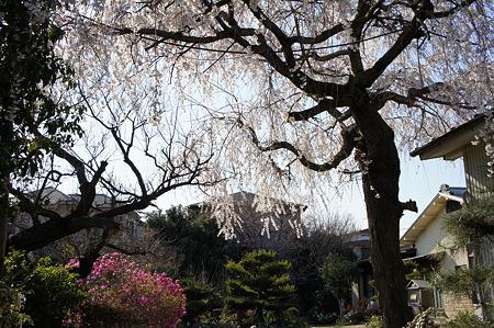 枝垂桜が風に揺れる