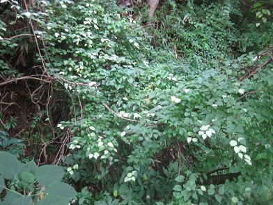 白く光るマタタビの葉