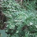 Photos: 白く光るマタタビの葉