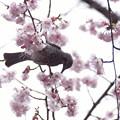 鳥と大寒桜