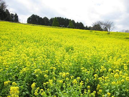 篠窪の菜の花(1)