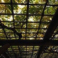 Photos: 藤棚の秋 日比谷公園
