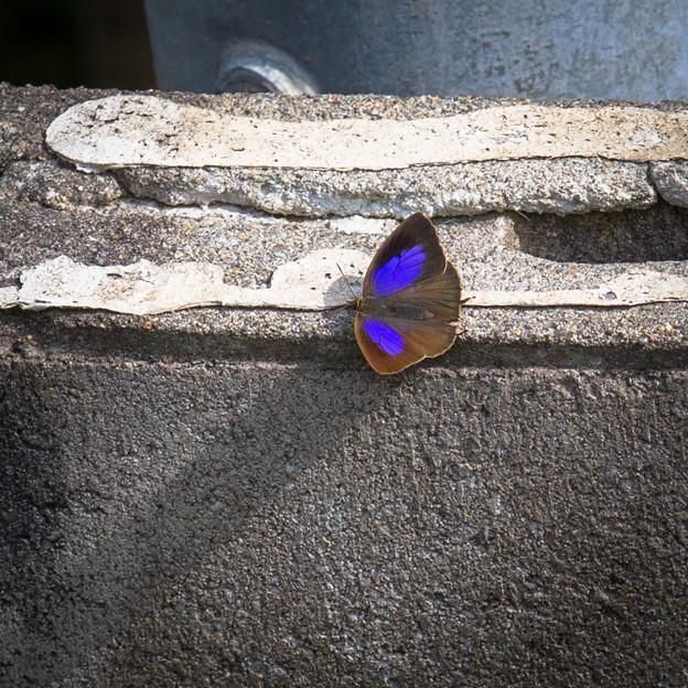 美しい蝶、場所を選ばず