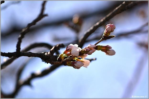 咲き初める