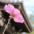 Photos: 般若寺2014 淡桃色