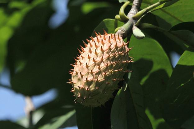 イガイガのこの実は朴ノ木でした
