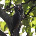 Photos: ヒヨドリの雛に蝉のエサ