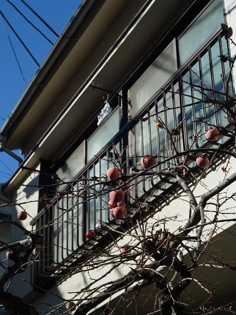 四谷散歩-0048015_柿