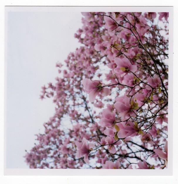 写真: 紫木蓮