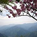 Photos: X70_-奥多摩_八重桜-0512