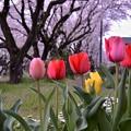 Photos: 引地川の桜をそれるように咲くチューリップ・・20140405