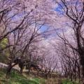 Photos: 朝気持ちよく散歩したくなる引地川の桜並木・・20140405