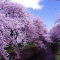 Photos: お花見の場所どりでいい場所引地川・・20140405