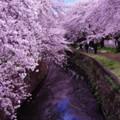 Photos: 綺麗に引地川に映る桜・・20140405