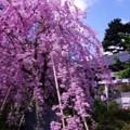 Photos: 天気の良かった弘明寺の枝垂れ桜・・20140406