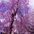 Photos: 弘明寺大岡川に咲く桜・・20140406