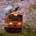 Photos: 桜吹雪舞うの桜トンネルを普通列車津軽21形走れメロス号?・・