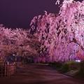 誰もいなくなった弘前城公園の夜桜