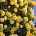 Photos: ヴェルニー公園の黄色い薔薇も綺麗に・・20140518