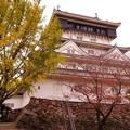 Photos: 撮って出し。。色づきが始めている小倉城のイチョウの木。。11月21日