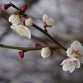 撮って出し。。小田原市の曽我梅林の白梅。。2月7日