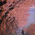 毎年恒例の風景。。朝一の散歩 海軍道路桜並木・・20150331