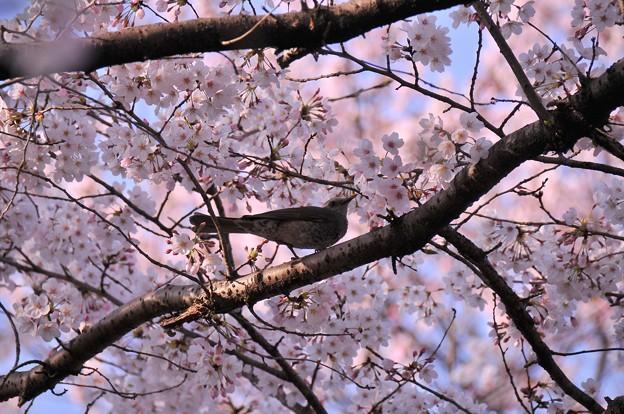 Photos: 引地川の桜とヒヨドリ・・20150331