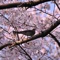 引地川の桜とヒヨドリ・・20150331