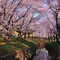 綺麗な引地川の桜並木。。20150331