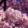 満開の引地川の桜・・20150331