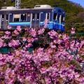 伊豆急行線普通列車。。河津桜と一緒に。。20160221