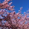 朝の伊豆河津町へ。。満開になっていたピンクな桜。。20160221