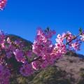 朝の河津町の河津桜。。綺麗なピンク色した。。20160221