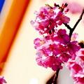 淡いピンクな伊豆河津町の河津桜。。20160221