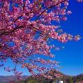 いい天気の伊豆河津町。。山と河津桜。。20160221