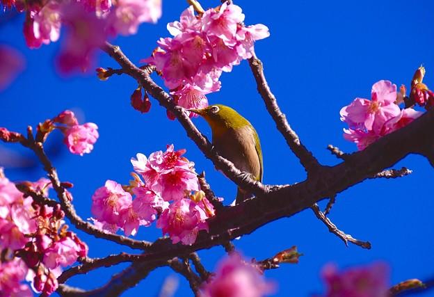 Photos: ピンクの河津桜と嬉しそうに飛び回るメジロさん。。伊豆河津町 20160221