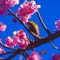 ピンクの河津桜と嬉しそうに飛び回るメジロさん。。伊豆河津町 20160221