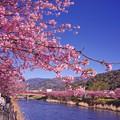 Photos: 伊豆河津町の河津桜と河津川と河津町の山々。。20160221
