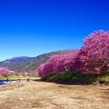 伊豆河津川。。河川敷から見る河津桜と青空。。20160221