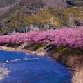 川沿いに綺麗に咲く河津桜。。20160221